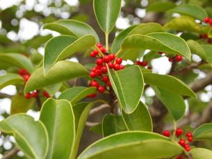 真っ赤な木の実の素材 [FYI00442182]