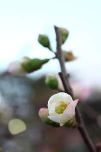 寒木瓜の開花の写真素材 [FYI00442188]