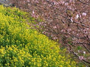 河津桜と菜の花の写真素材 [FYI00442221]