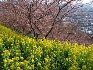 河津桜と菜の花と松田町の町並みの写真素材 [FYI00442226]