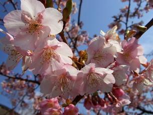 河津桜の写真素材 [FYI00442229]