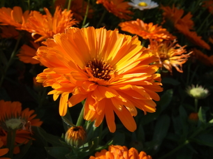 オレンジのガーベラの写真素材 [FYI00442257]
