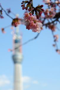 桜の花と芽とスカイツリーの写真素材 [FYI00442262]