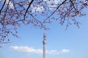 スカイツリーと咲き始めた桜の写真素材 [FYI00442295]