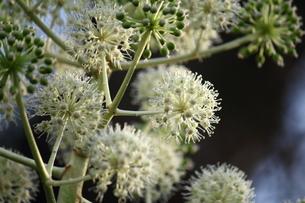 ヤツデの花と実の写真素材 [FYI00442311]