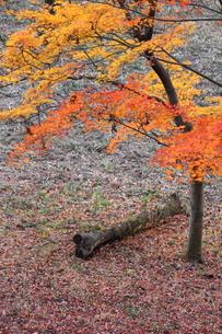 紅葉と倒木の写真素材 [FYI00442345]
