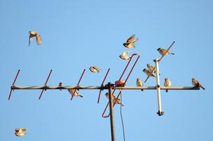 VHFアンテナに雀の写真素材 [FYI00442397]