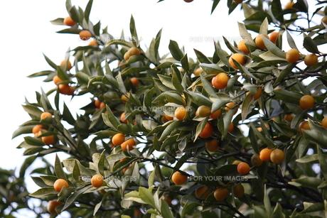 金柑の木と実の素材 [FYI00442407]