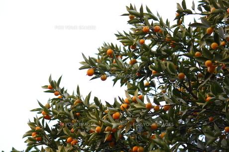 金柑の木と実の素材 [FYI00442408]