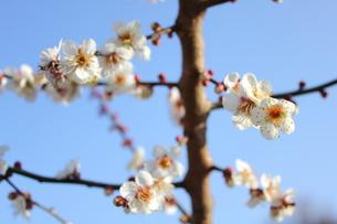 冬至梅の写真素材 [FYI00442422]