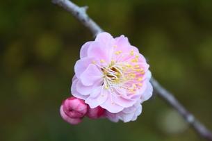 淡い梅の花の写真素材 [FYI00442441]