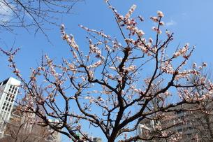 常盤橋公園の梅の写真素材 [FYI00442470]