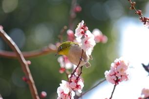 メジロと梅の写真素材 [FYI00442481]