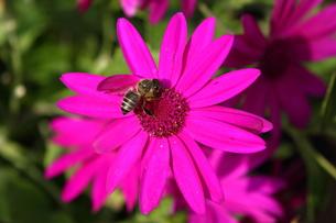マゼンダのオステオスペルマムに蜂の写真素材 [FYI00442515]