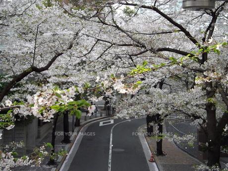 サントリーホール脇の歩道橋から桜並木の写真素材 [FYI00442587]