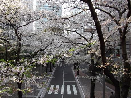 サントリーホール脇の歩道橋から桜並木の写真素材 [FYI00442599]