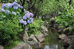 見沼代親水公園・せせらぎと紫陽花の写真素材 [FYI00442650]