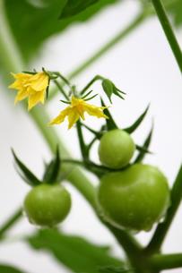 ミニトマトの花の写真素材 [FYI00442654]