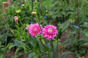 咲き始めのピンク色のダリアの写真素材 [FYI00442694]