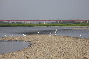 多摩川のダイサギと新多摩川大橋の写真素材 [FYI00442898]
