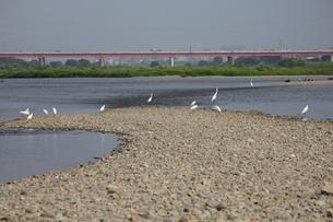 多摩川のダイサギと新多摩川大橋の写真素材 [FYI00442911]