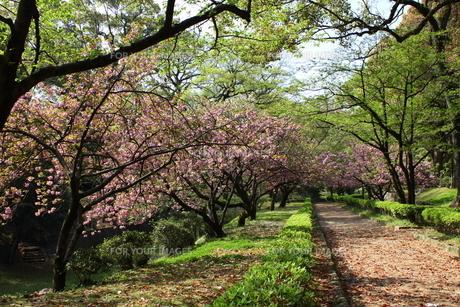 熊本城公園の八重桜並木の写真素材 [FYI00443036]