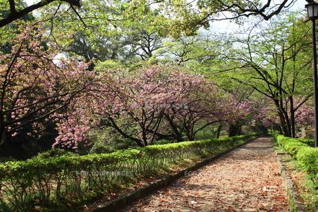 熊本城公園の八重桜並木の写真素材 [FYI00443048]