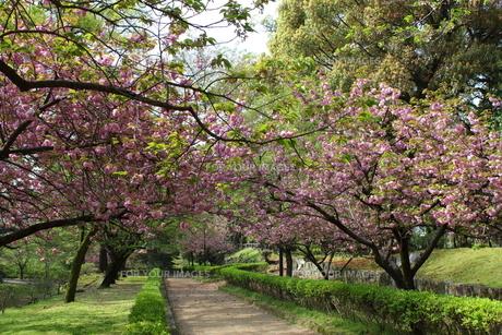 熊本城公園の八重桜並木の写真素材 [FYI00443055]