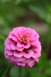 マゼンタの八重咲きのヒャクニチソウの写真素材 [FYI00443103]