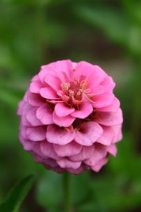 マゼンタの八重咲きのヒャクニチソウの写真素材 [FYI00443112]
