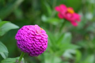マゼンタの八重咲きのヒャクニチソウの写真素材 [FYI00443134]