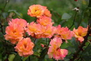 薄ピンクと黄色のバラの写真素材 [FYI00443169]