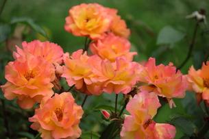 薄ピンクと黄色のバラの写真素材 [FYI00443170]