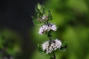 ミントの花の写真素材 [FYI00443198]