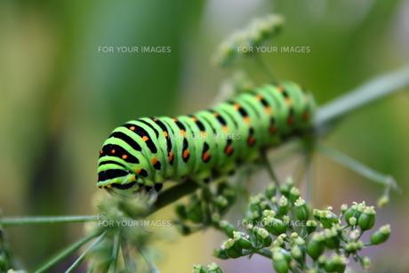 イモムシ(キアゲハの幼虫)の写真素材 [FYI00443210]