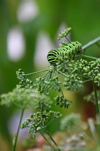 イモムシ(キアゲハの幼虫)の写真素材 [FYI00443213]