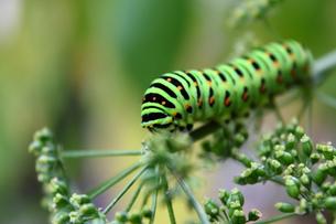 イモムシ(キアゲハの幼虫)の写真素材 [FYI00443216]