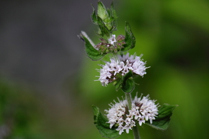 ミントの花の写真素材 [FYI00443232]