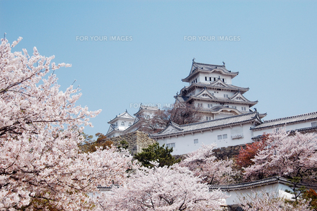 姫路城と桜吹雪1-2の写真素材 [FYI00443439]