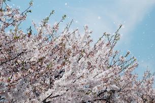 花吹雪1-1の写真素材 [FYI00443445]