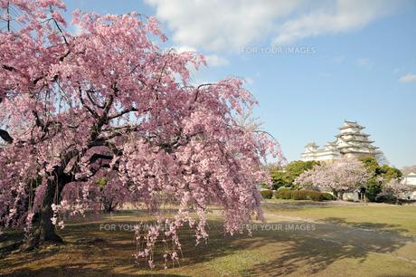 姫路城と桜1-3の素材 [FYI00443469]