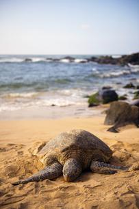 ウミガメのいる海岸-2の写真素材 [FYI00443600]