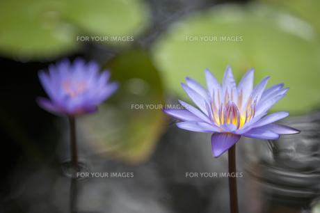 紫色の蓮の花-1の素材 [FYI00443651]