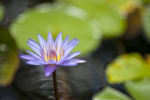 紫色の蓮の花-3の素材 [FYI00443656]