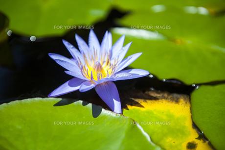紫色の蓮の花-4の素材 [FYI00443668]