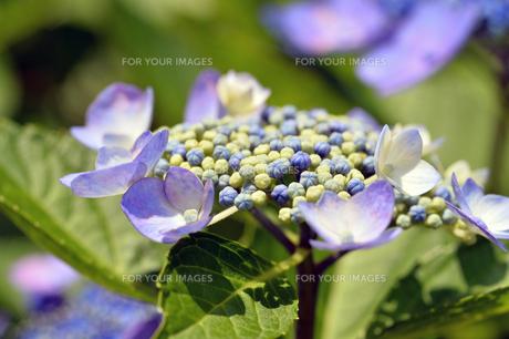 紫色のアジサイ-1の素材 [FYI00443813]