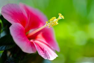 ピンクのハイビスカス横位置-1の写真素材 [FYI00443832]
