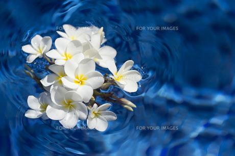 水に浮かぶ白いプルメリア-13の写真素材 [FYI00443854]