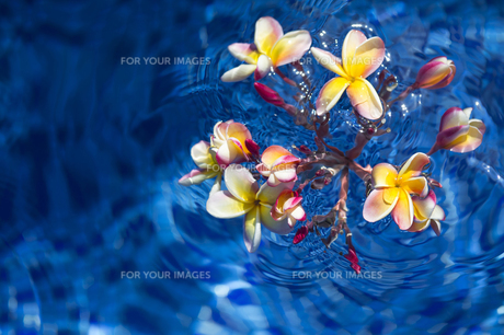 水に浮かぶ赤いプルメリア-2の写真素材 [FYI00443855]