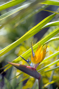 極楽鳥花Bird of Paradise-2の写真素材 [FYI00443860]